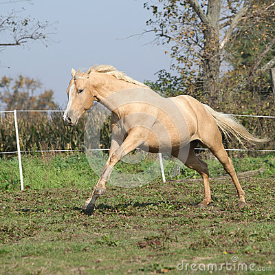Angry palomino horse attacking