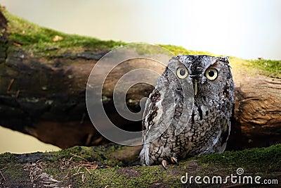 Angry Screech Owl