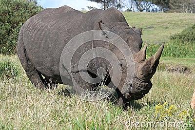 Angry white rhino