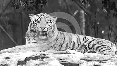 Angry White Tiger Stock Photos - Image: 37727043