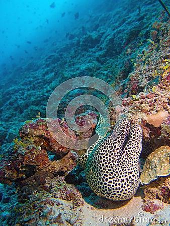 Anguila de moray atada