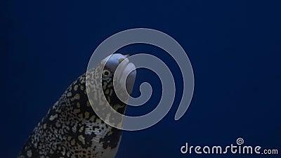 Anguilles de mer dans l'aquarium, d?coration d'aquarium Moray Eel dans l'aquarium clips vidéos
