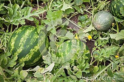 Anguria e melone fotografia stock immagine 39806068 for Pianta di melone