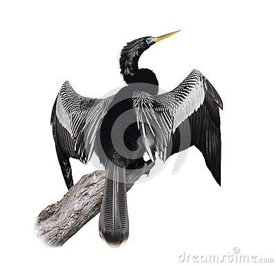 Free Anhinga (Anhinga Anhinga) Bird Royalty Free Stock Photos - 36483928