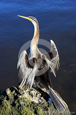 Free Anhinga,Australia Royalty Free Stock Photography - 25926047