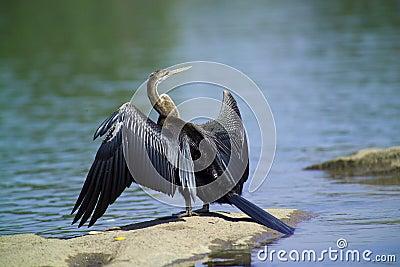 Anhinga bird (Anhinga anhinga)