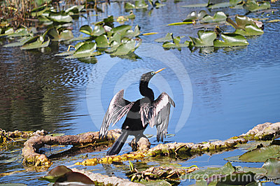 Anhinga Drying its Feathers, St Petersburg Florida