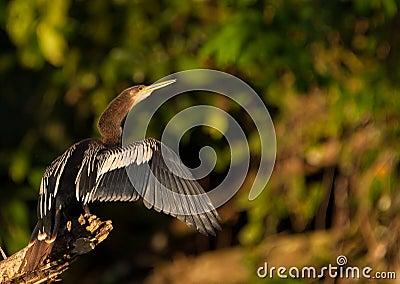 Anhinga drying it´s plumage