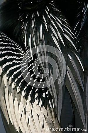 Anhinga feathers