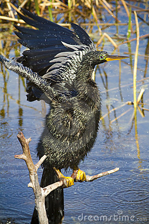 Anhinga flapping its wings to dry up