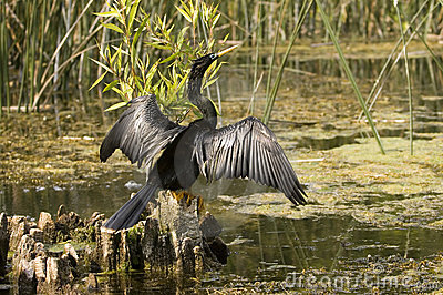 Anhinga in a florida swamp