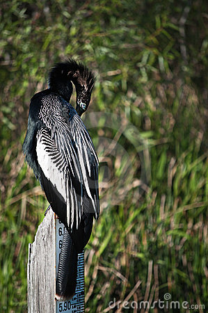 Anhinga resting on a water measure