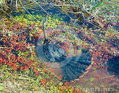 Anhinga under water