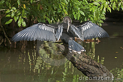 Anhinga water bird drying its plumage