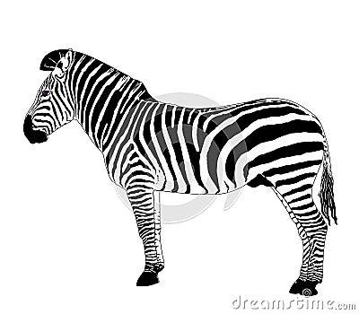 Animais africanos: Zebra do vetor