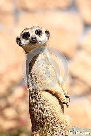 Animal Alert meerkat (Suricata suricatta)