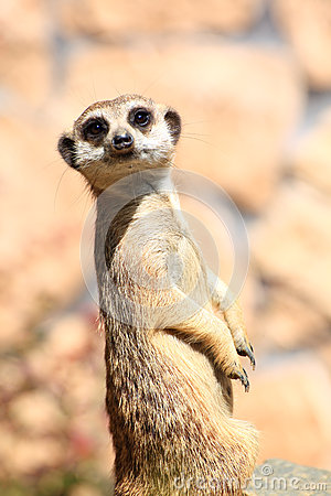 Free Animal Alert Meerkat (Suricata Suricatta) Stock Images - 25882114