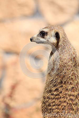 Animal Alert meerkat (Suricata suricatta) on guard