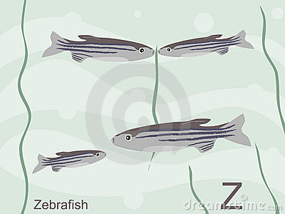 Animal alphabet flash card, Z for zebrafish