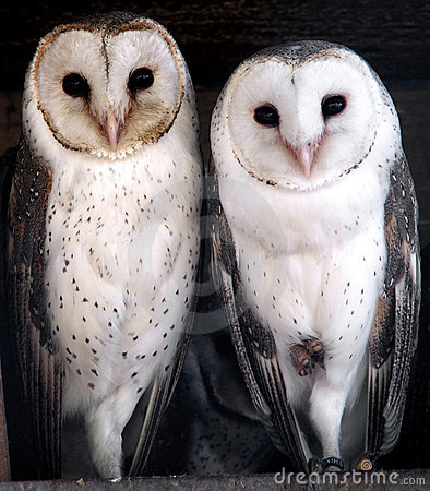 Free Animal - Barn Owl Stock Images - 206174