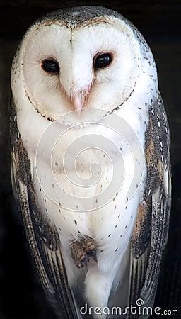 Free Animal - Barn Owl Royalty Free Stock Image - 222856