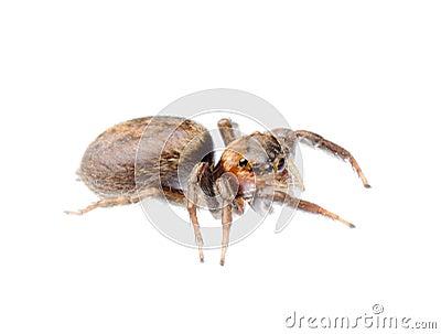 Animal black jumping spider