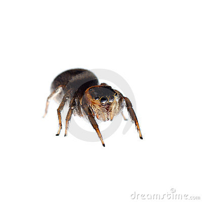 Animal black jumping spider