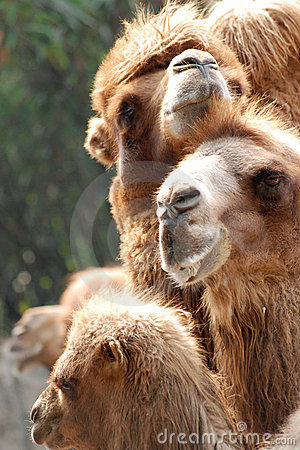 Animal camel portrait