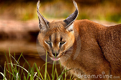 Animal - Caracal (Caracal caracal caracal)