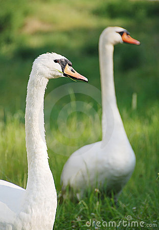 Animal couple - swans