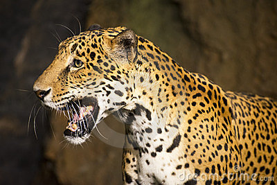 Animal de la fauna del gato grande, jaguar suramericano