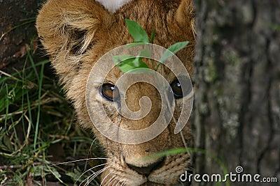 Animal de lion