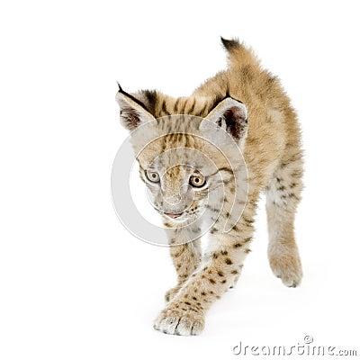 Animal de lynx (2 mounths)