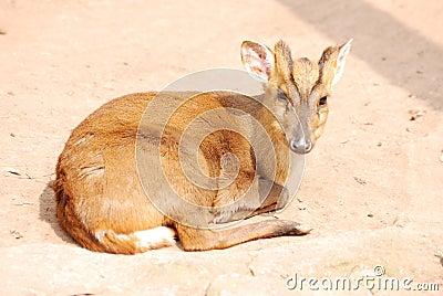 Animal deer