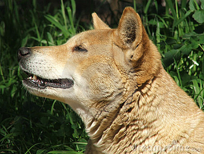 Animal - dingo