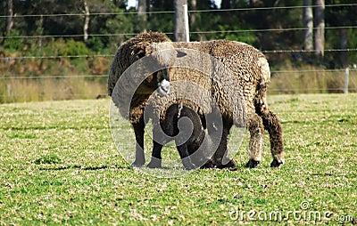 Animal - Ewe and Lamb