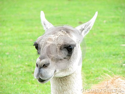 Animal expressions-A sarcastic lama