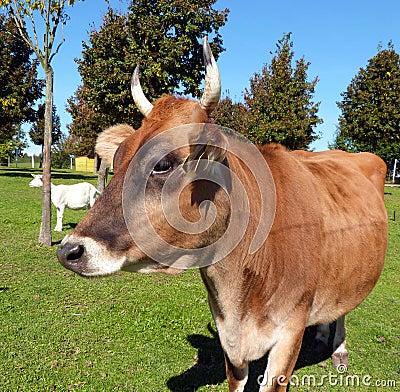 Animal farm - a cow