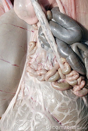 Animal intestines