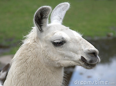 Animal is the lama
