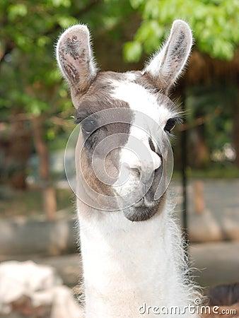 Animal llama guanaco