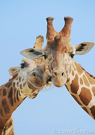Animal love giraffes