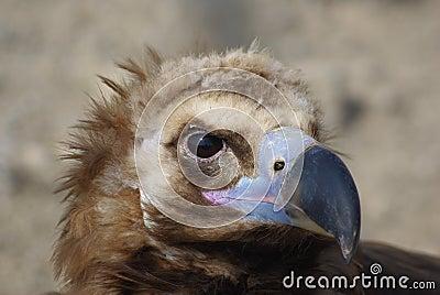 Animal Portraits--vulture