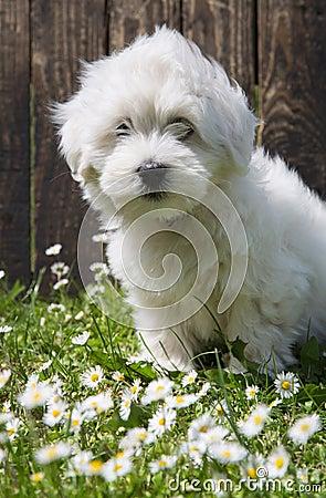 Free Animal Pup Portrait: Coton De Tuléar Dog - Pure White Like Cott Stock Photo - 41077360