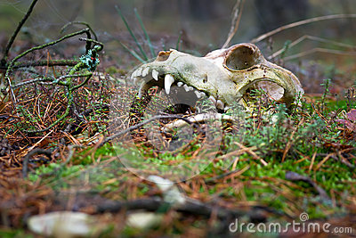 Animal skull in dark forest
