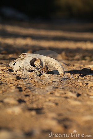 Animal skull in the sand in the desert