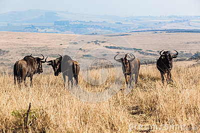 Animal Wildlife Four Blue Wildebeest