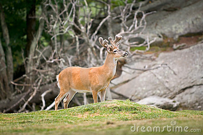 Animal Wildlife White Tailed Deer in Blue Ridge