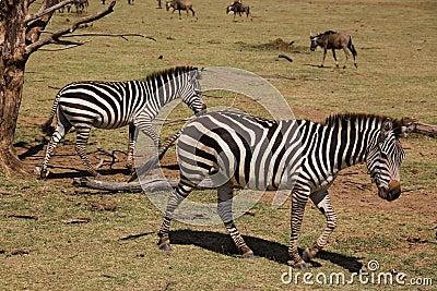 Animals 006 zebra