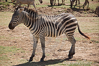 Animals 007 zebra